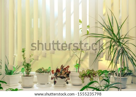 houseplant in flowerpot standing on wooden windowsill of glass large window with white paper jalousie, flower gardening concept