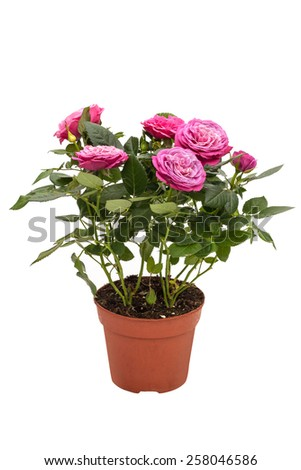 Houseplant mini rose with small pink flowers in a brown pot isolated on white background #258046586