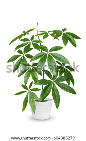 Houseplant - Pachira aquatica a potted plant isolated over white #604388279