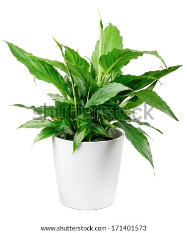 Houseplant - Peace Lily #171401573