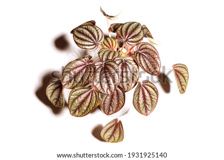 Houseplant Peperomia Piccolo Banda in pot, foliage nature background, close up on the light background. Flower shop concept Foto stock ©