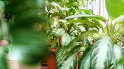 Houseplant with big green foliage in flowerpot stands on floor of greenhouse. Concept greenery cultivation.