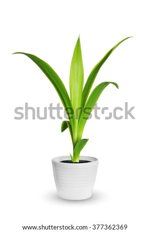 Houseplant - yang sprout of Yucca a potted plant isolated over white - Shutterstock ID 377362369