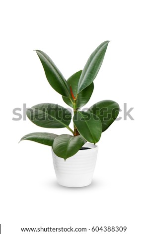 houseplant - young Ficus elastica a potted plant isolated over white