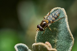 Hover Flies are common garden visitors, sipping nectar from flowers. Some flies are mimics -- they have black and yellow bands that make them look like bees and wasps.