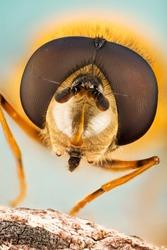 Hover Fly, Flower Flies, Syrphid Flies, Hoverflies, Diptera, Syrphidae