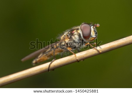 Hover fly, flower fly, or syrphid fly mimicking a bee sitting on an orange dry plant close up shot