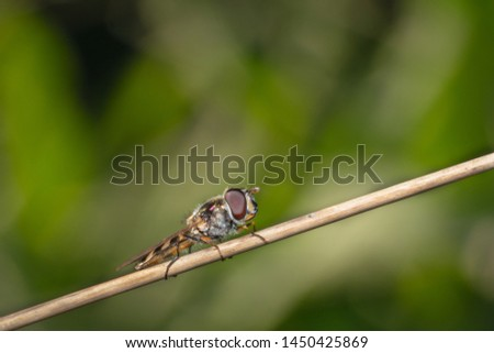 Hover fly, flower fly, or syrphid fly mimicking a bee sitting on an orange dry plant far away shot with a beautiful green background