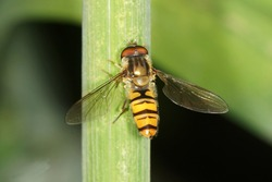 hover fly, hover-fly