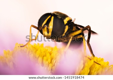 Hover Fly, Hover-Fly, Fly, Syrphidae