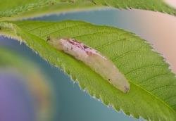 Hover fly larva on a leaf. High detail.