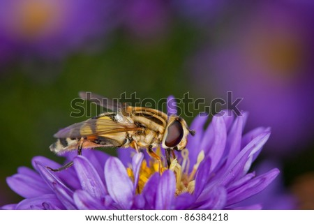 Hover-fly on a flower