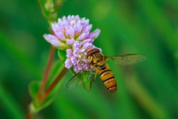 Hover fly on a pink wild flower
