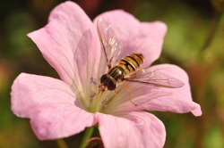 Hover fly on flower close-up