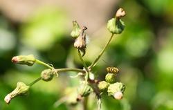 Hover-fly on green flower macro