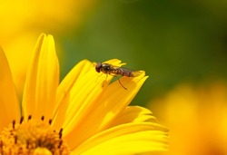 Hover fly, Syrphidae. Close up of the insect on a yellow flower.