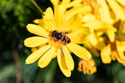 Hoverflies, also called flower flies over a Wild Yellow Daisy - Anacyclus radiatus. Insect of family Syrphidae, they are often seen hovering or nectaring at flowers