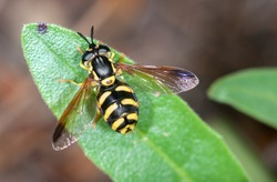 Hoverfly.Chrysotoxum cautum
