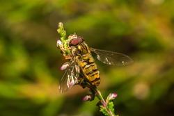 Hoverfly (Episyrphus balteatus) Order Diptera (True Flies)