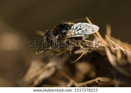 Hoverfly (Eristalinus sepulchralis)