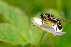 Hoverfly feeding on a wild strawberry flower.