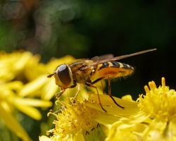 Hoverfly feeding on a yellow flower.