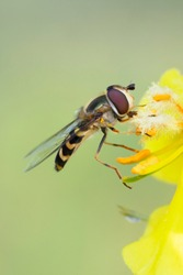 Hoverfly,flower fly or syrphid fly.