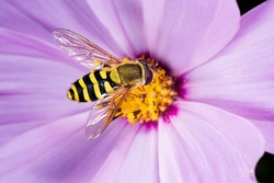 Hoverfly, flower fly, syrphid fly. Eupeodes luniger collects nectar from the pink flower. Mimicry of wasps and bees. Macro photo. Natural background. Beautiful summer wallpaper