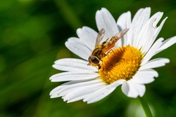hoverfly fly insect nature macro flower spring summer