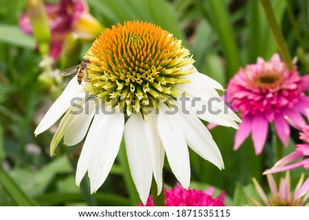 Hoverfly on a white 'coconut lime' echinacea with a blurry green background and pink echinacea. Macrophoograph. Stockfoto ©