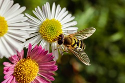 Hoverfly on daisies in an English garden