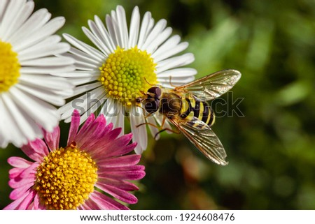 Hoverfly on daisies in an English garden Stockfoto ©