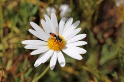 Hoverfly on daisy, South Australia