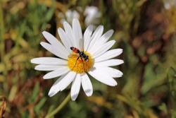 Hoverfly on daisy, South Australia