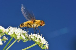 Hoverfly photographed just before it flies away, on wild white flowers against a natural blue background.