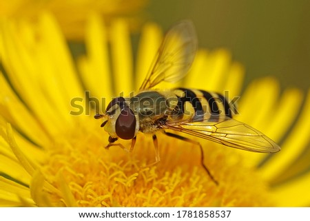 Hoverfly (Syrphidae) in its natural enviroment Stockfoto ©