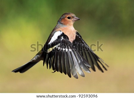 Hovering male Chaffinch in flight