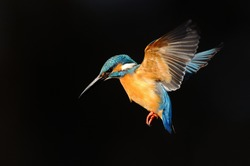 Hovering of kingfisher