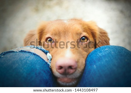 How can you resist those cute eyes of nova scotia duck tolling retriever dog looking at you  Foto d'archivio ©
