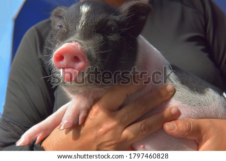 How to hold Micro pig, Teacup pig, Mini Pig