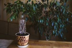 How to Weave weeping fig Plant Stem. Methods and patterns of weaving ficus Benjamina at home. Woman weaves Stems of houseplant