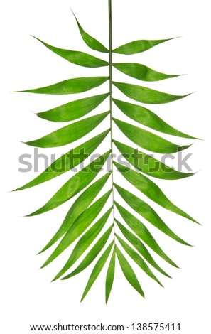 Howea palm tree leaf isolated on white