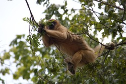 Howler monkey (bugio) sitting high in the trees in a remanescent of Atlantic Forest. Howler monkeys (genus Alouatta monotypic in Alouattinae) are among the largest of the New World monkeys.