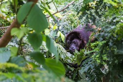 Howler monkey foraging for food in the tree tops of Guanacaste in Costa Rica.