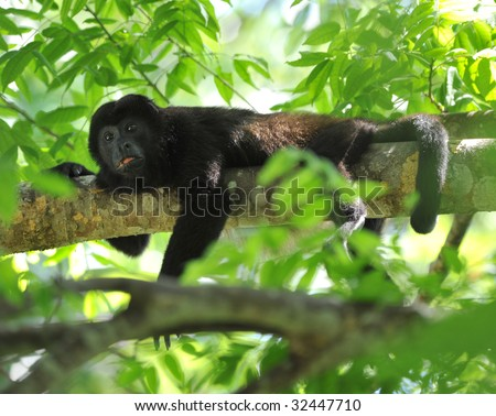 howler monkey or mono negro in tree, guanacaste, costa rica, central america, black monkey