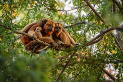Howler monkeys really high on a giant tree in brazilian jungle. South american wildlife. Alouatta. Beautiful and rare monkey in the nature habitat.
