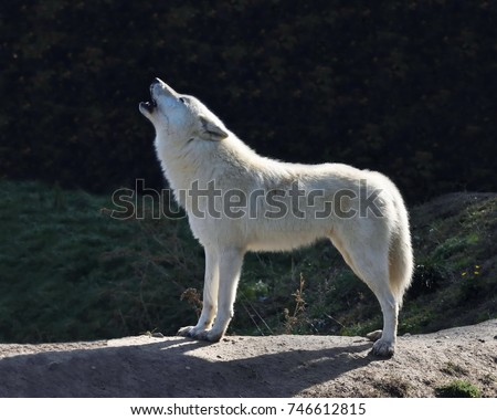 Howling Arctic wolf (Canis lupus arctos), also known as the Melville Island wolfs.