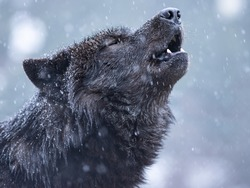Howling canadian wolf in winter against the background of snowing.