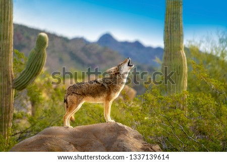 Howling Coyote standing on Rock with Saguaro Cacti
