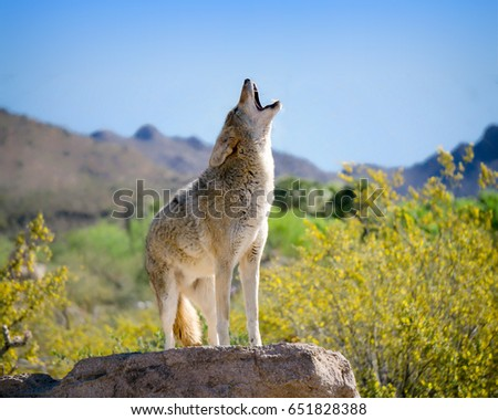 Howling Coyote with Yellow Brittle bush Flowers